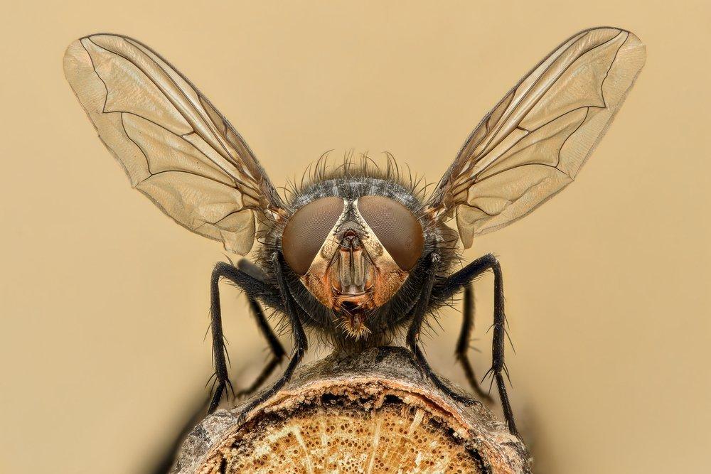 Опасные мухи, опасный паразит