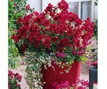 Пеларгония (Pelargonium) Источник: kvetki.com