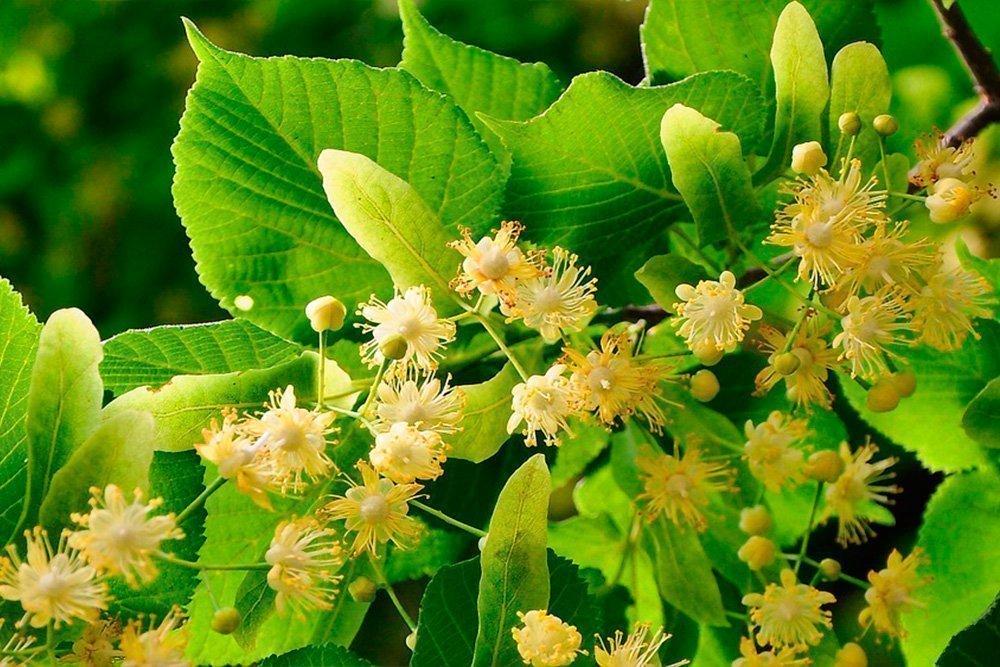 Похудение с душистыми цветками липы