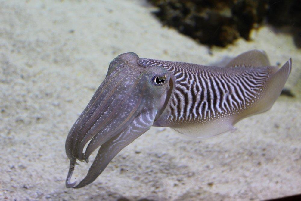 Морепродукты: использование каракатицы, но не ее мяса