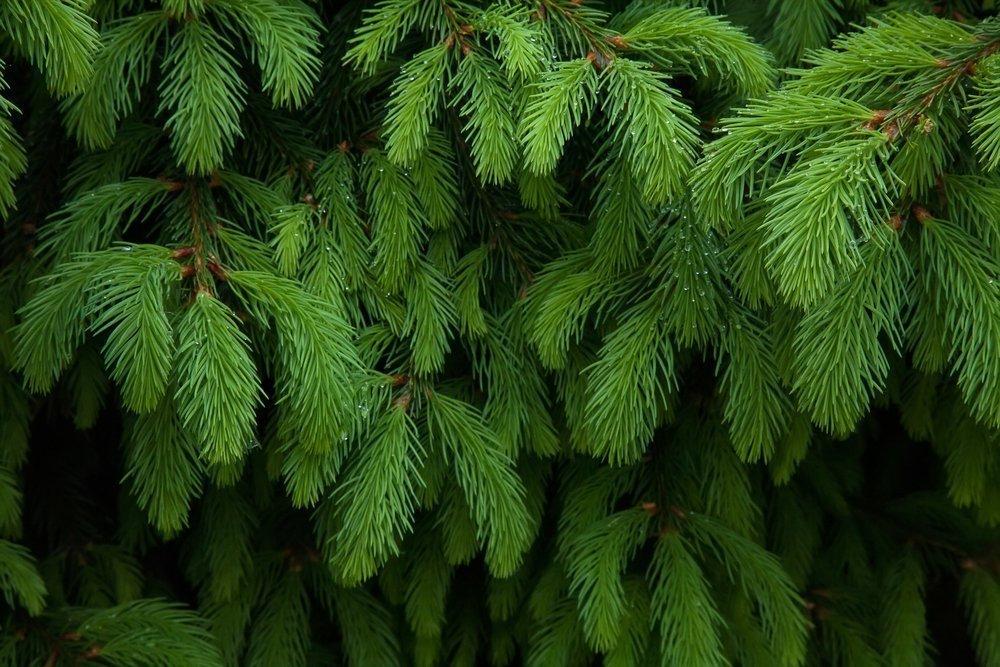 Запах и размеры дерева