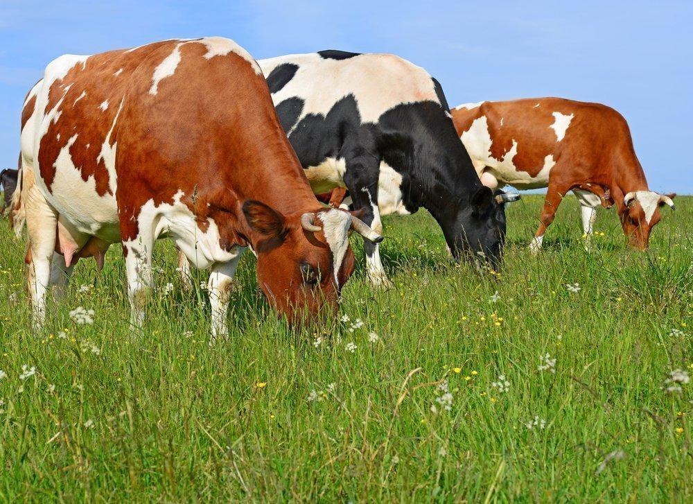 Чем плохо потребление коровьего молока?
