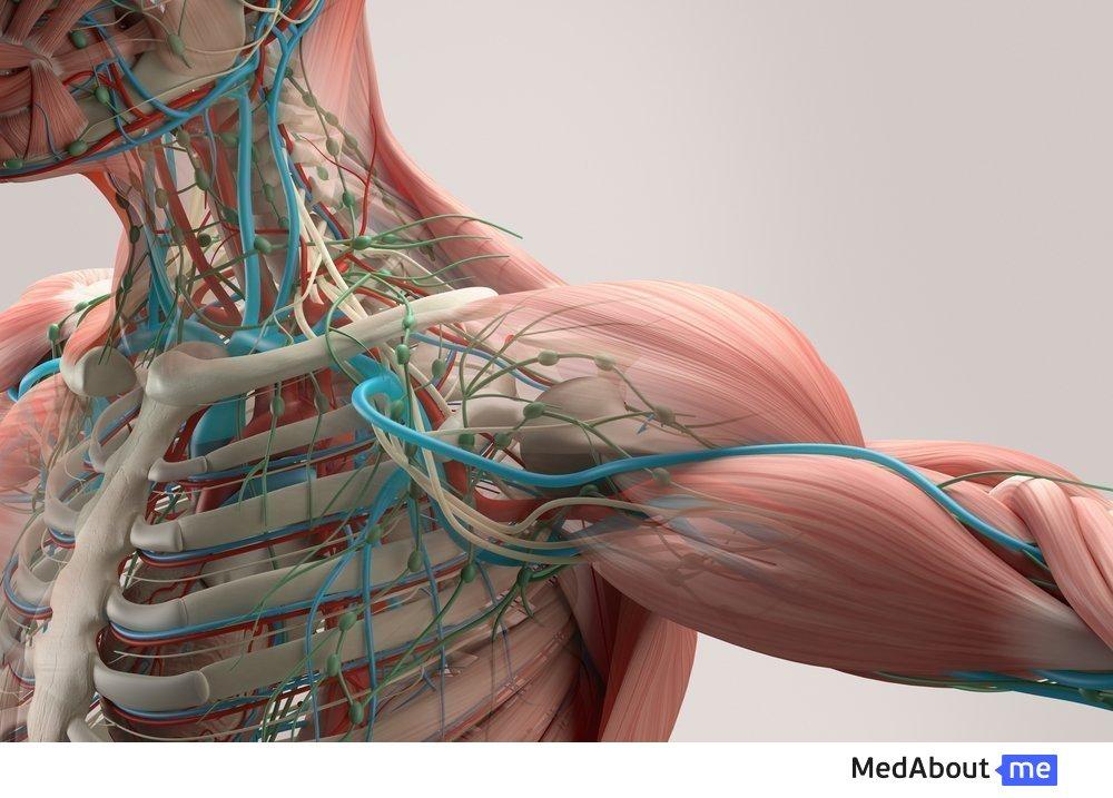 Вены и артерии в системе кровеносной системы