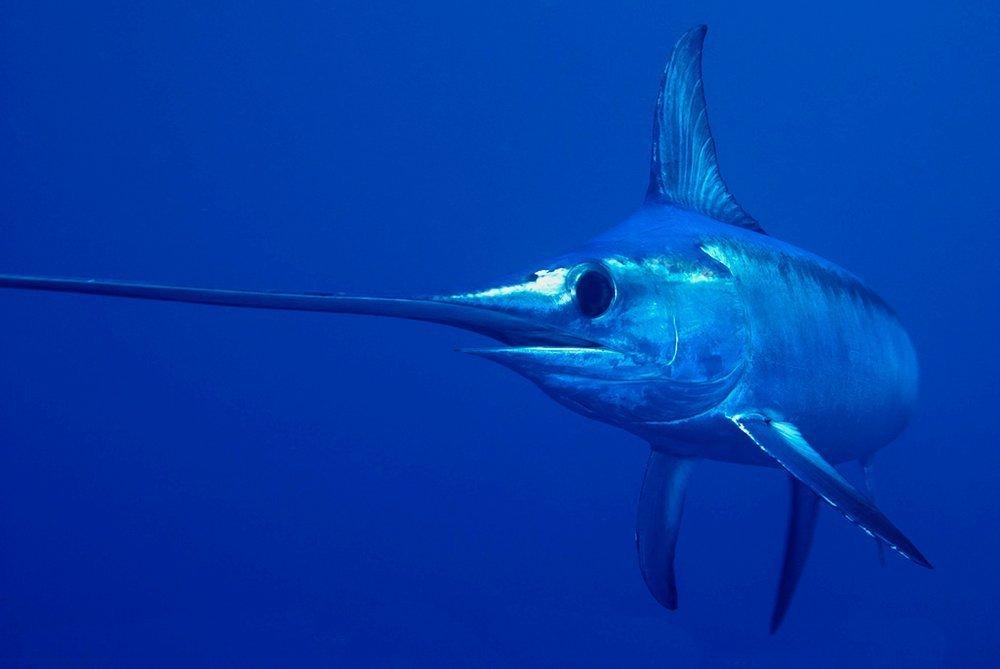 6. Рыба-меч Источник: fishingtourswordfish.com