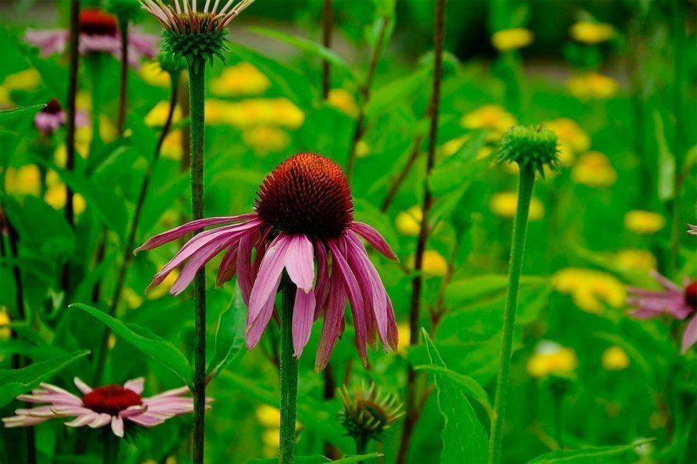 Эхинацея — повышение иммунитета с помощью лечебного и невероятно красивого растения