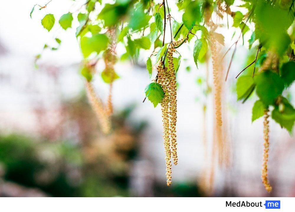 Аллергия на пыльцу березы и других деревьев