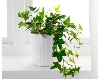Английский плющ (Hedera helix) Источник: stagingrensite.s3.amazonaws.com