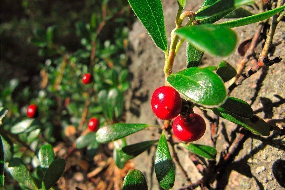 Какие витамины и минералы содержатся в ягоде?