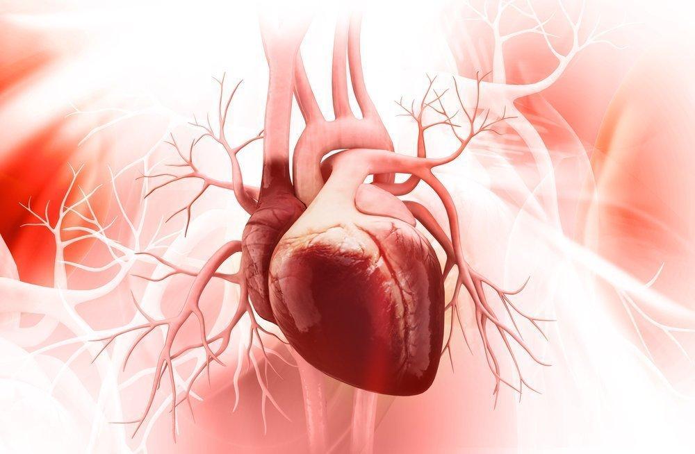 Как устроено сердце человека?