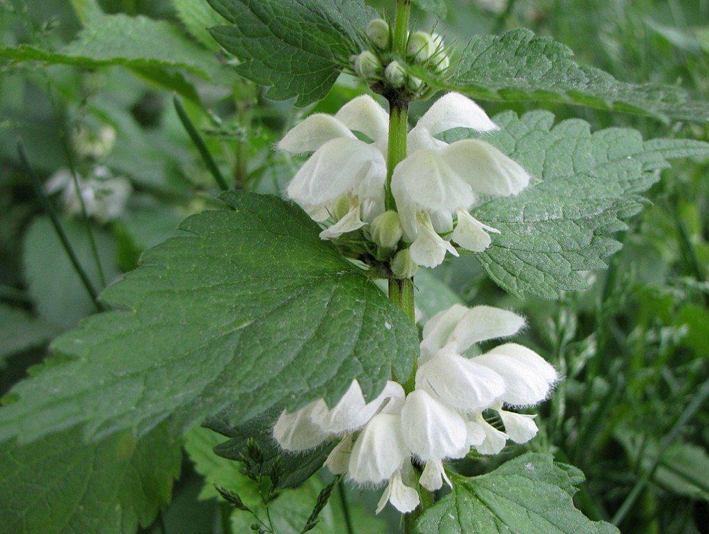 Яснотка белая или глухая крапива — ценный источник питания Источник: fitohome.ru