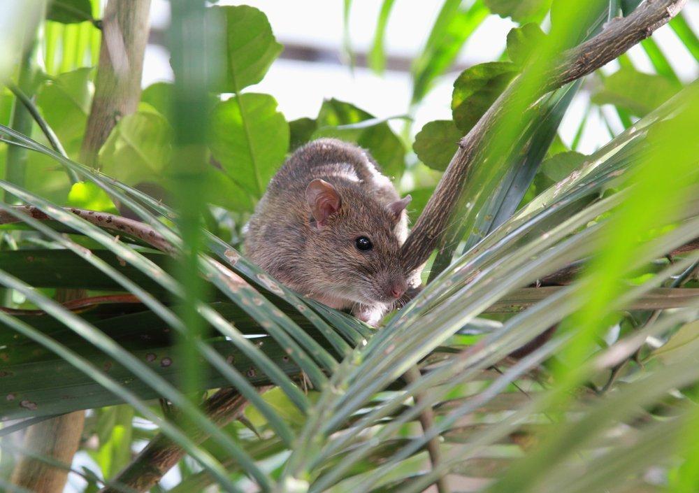 Какими последствиями может обернуться укус крысы?