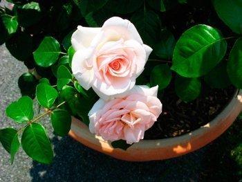 Роза (Rosa) Источник: happymodern.ru