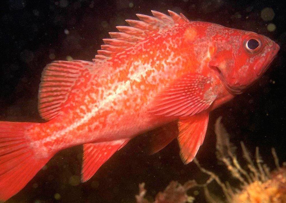 1. Северный морской окунь Источник: golfstrimfish.com