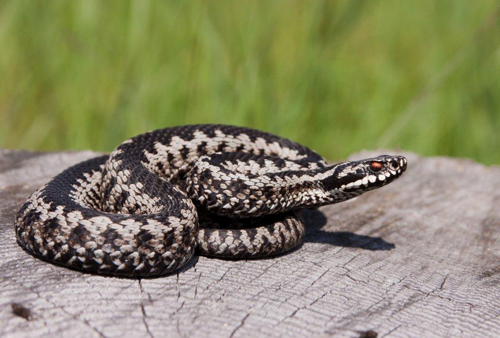 Укус ядовитой змеи