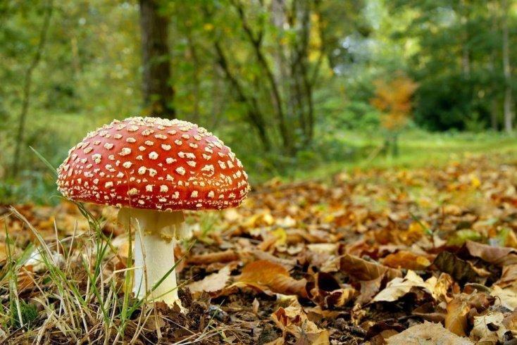 Основные заблуждения о ядовитых грибах