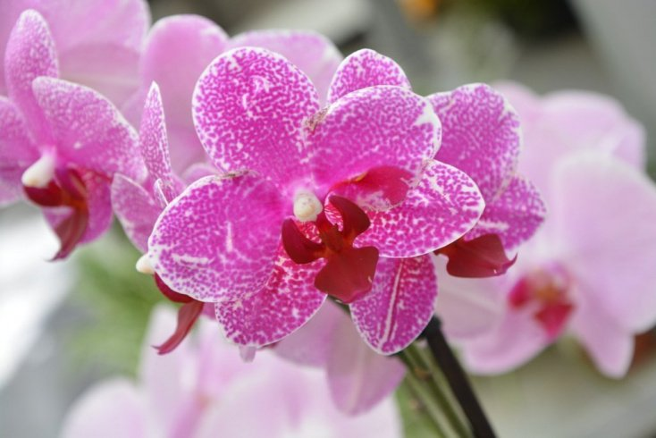 Орхидеи — покровители любви