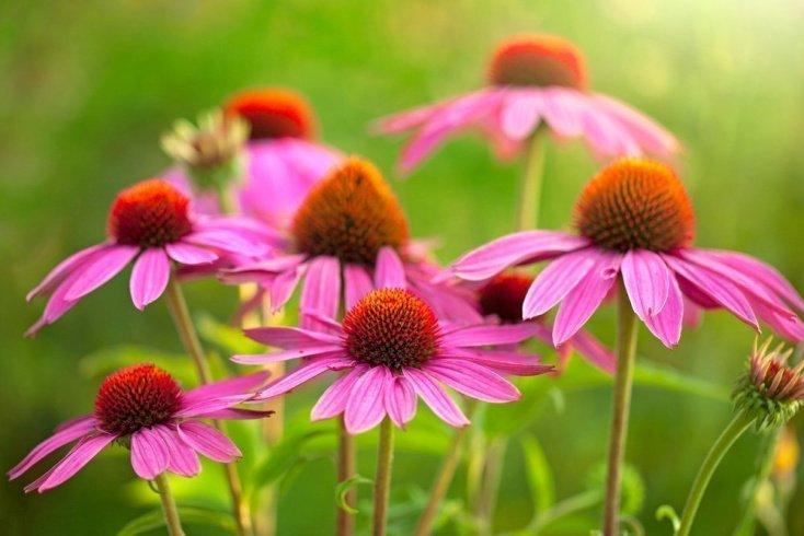Эхинацея пурпурная — природное лекарство для повышения иммунитета
