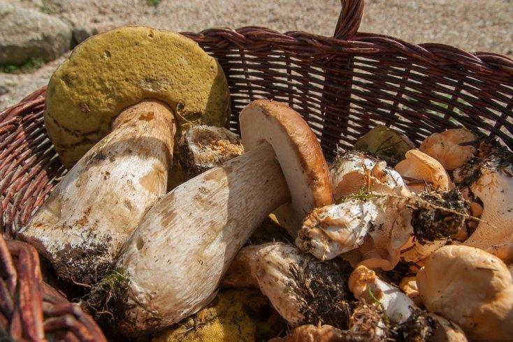 Белый гриб — царь грибов, прекрасно подходящий для питания