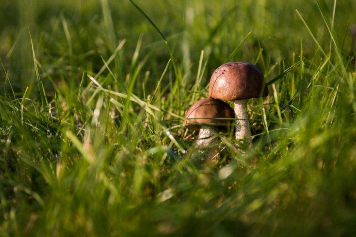 Дикорастущие грибы