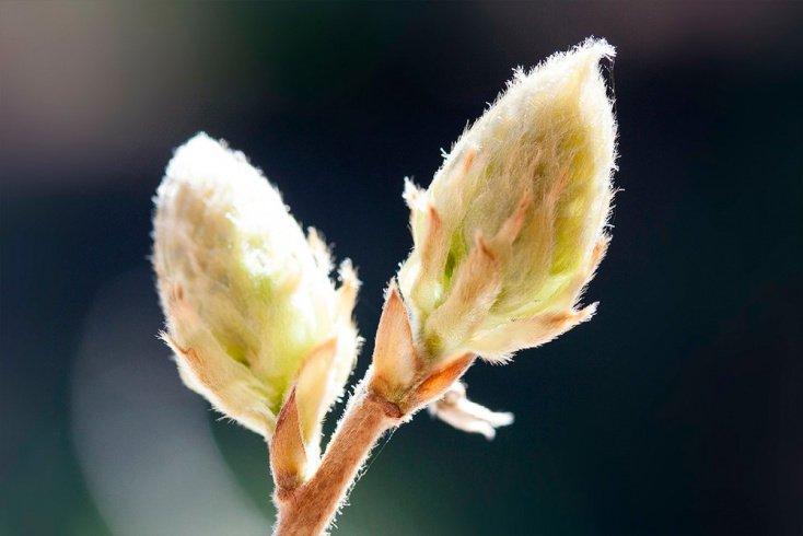 Березовые почки при простуде, нефрите, цистите и других недугах