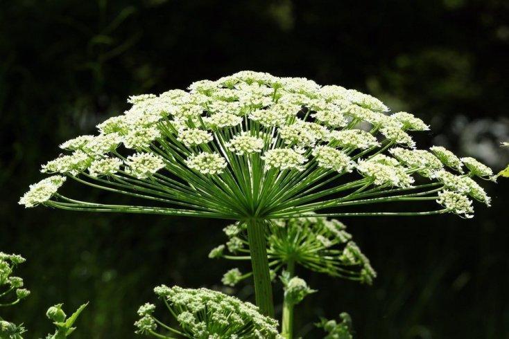 Какие растения опасны ожогами?