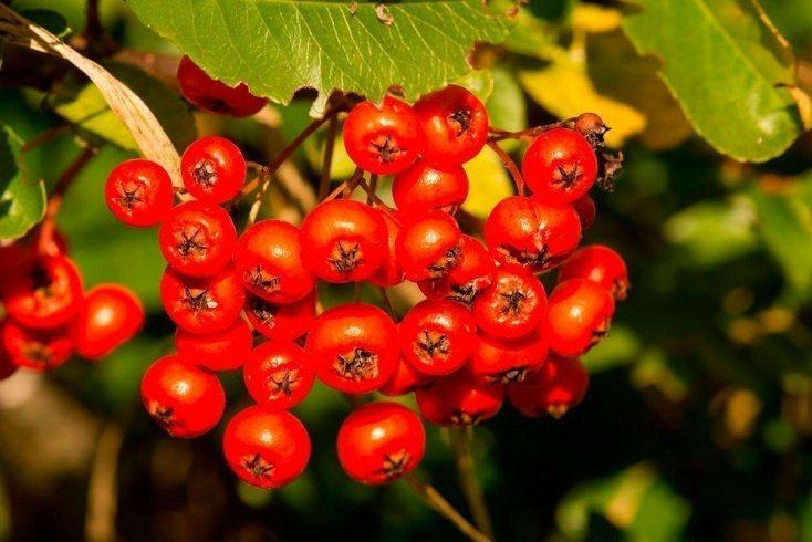 Лечебные ягоды — вкусный и полезный десерт на каждый день