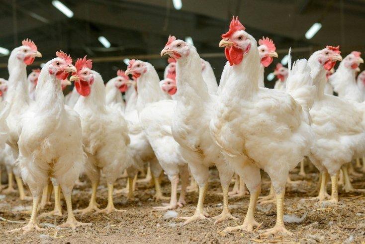 Гормоны и антибиотики в животноводстве