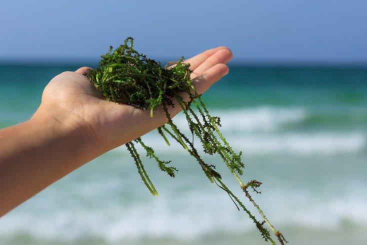 Целебная сила морских водорослей